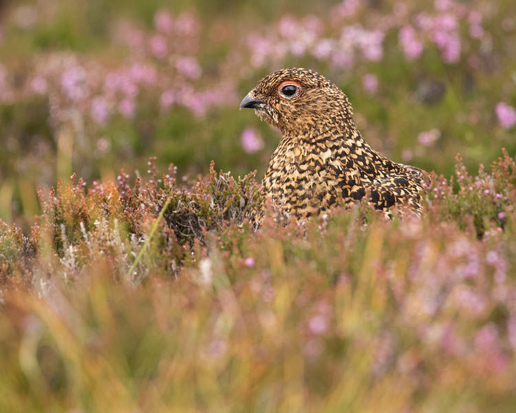RED GROUSE AUGUST 2019