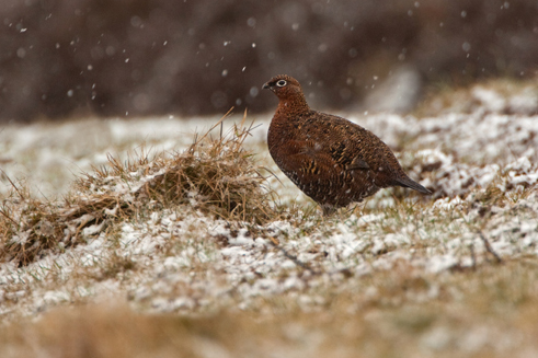 Red Grouse hen March 2013