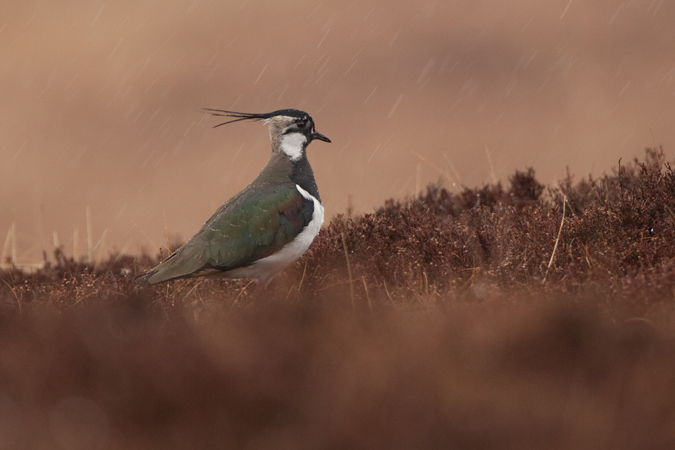 Lapwing in a spring snowstorm March 2013