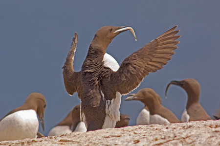 Guillemot displaying with sand eel