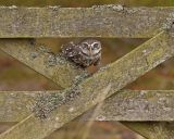 Little Owl October 2013