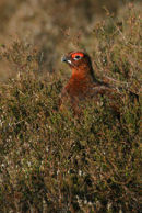 Red Grouse Cock 004
