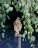 Sparrowhawk 011