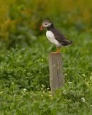 Puffin on post