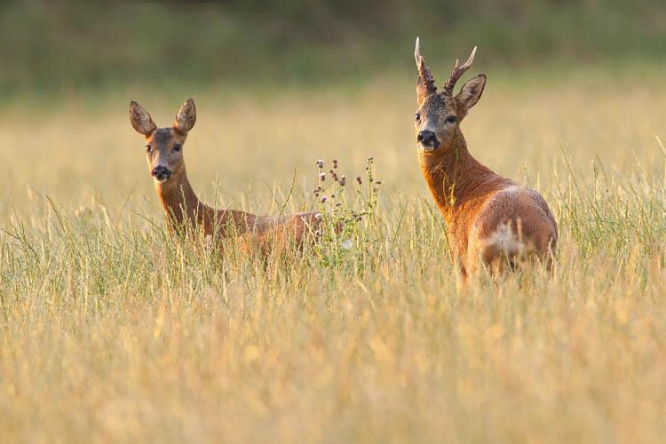 Roe Deer Rut