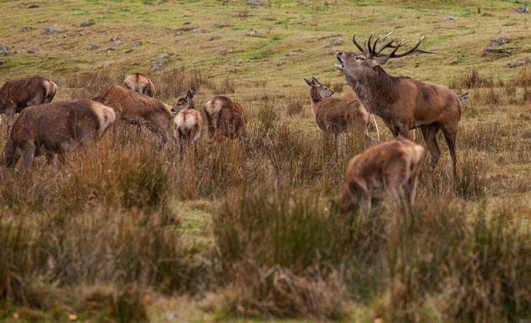 Red Deer stag with hinds and calves