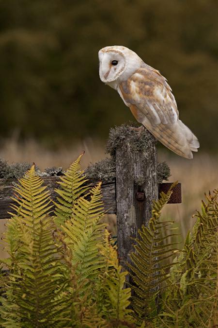 Barn Owl October 2013