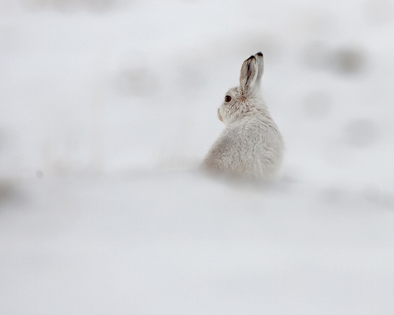 MOUNTAIN HARE 1