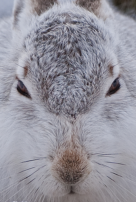 MOUNTAIN HARE 4