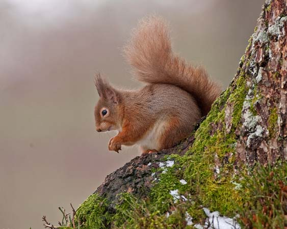 Red Squirrel February 2013