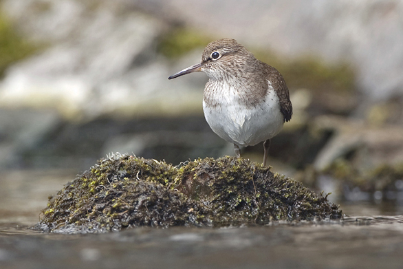 Common Sandpiper April 2013