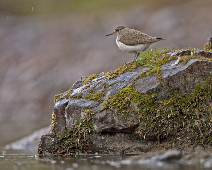 Common Sandpiper June 2013