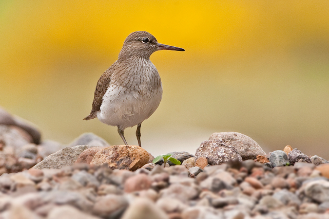 Common Sandpiper May 2013