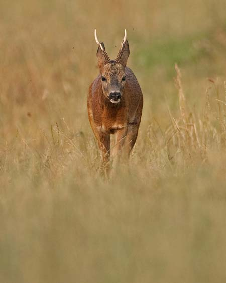 Rutting Roebuck July 2013