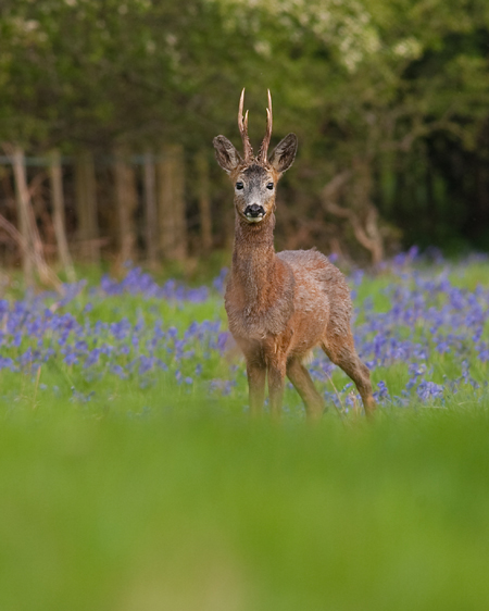 Roe Buck in Bluebells