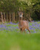 Roe Buck in Bluebells