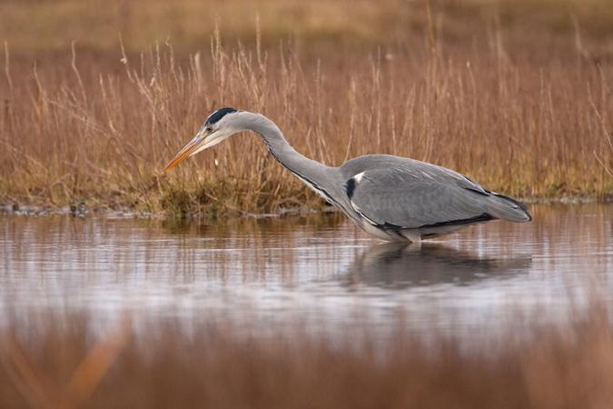 Heron Hunting In Tidal Pool January 2013