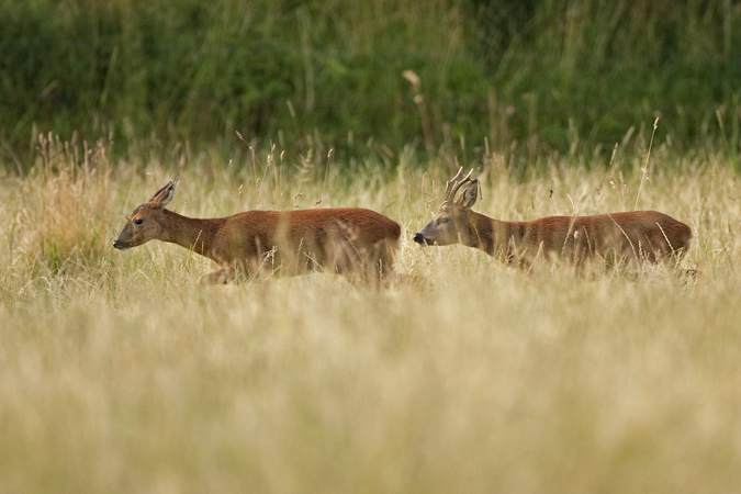 RUTTING ROE DEER