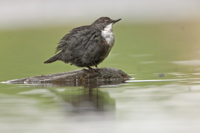 YOUNG DIPPER