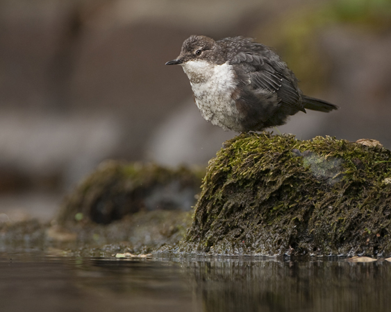 YOUNG DIPPER 2