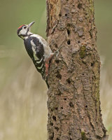 YOUNG G S WOODPECKER