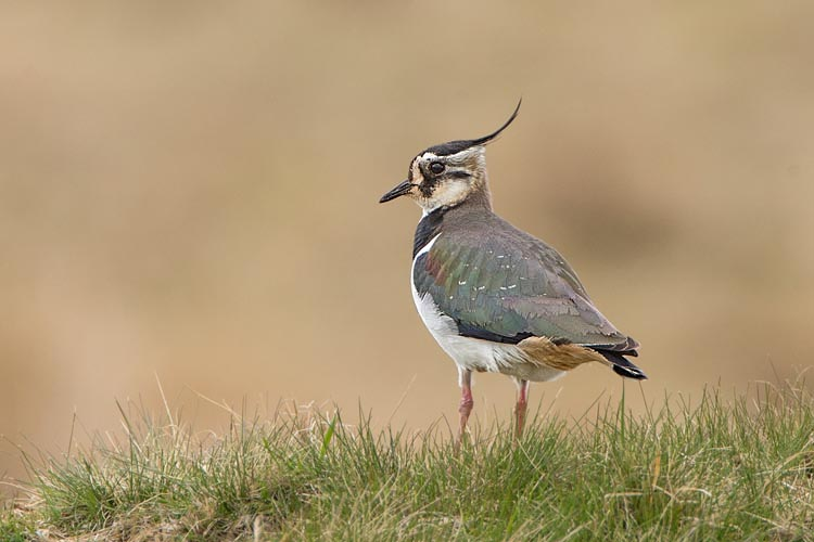 LAPWING APRIL 2017