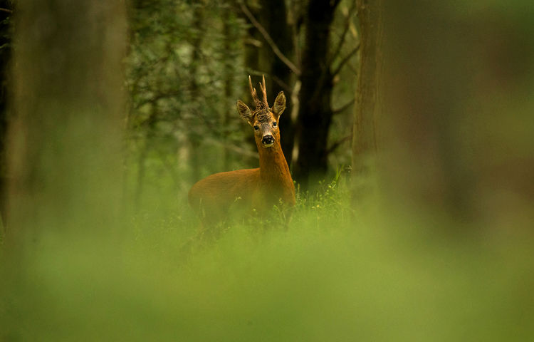 ROE BUCK JULY 2019