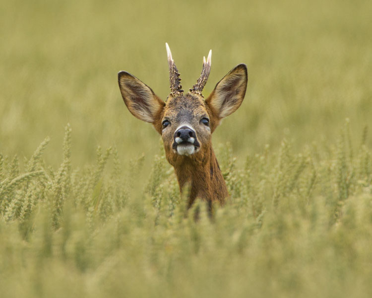 ROEBUCK IN A WHEAT FIELD