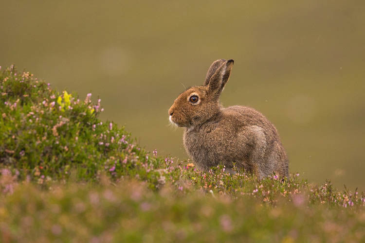 MOUNTAIN HARE AUGUST 2019