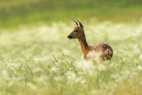 ROE DEER MAY 2017