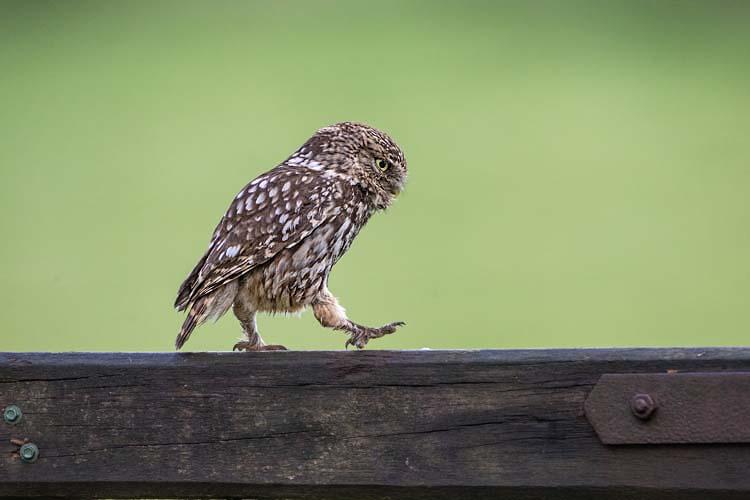 LITTLE OWL JUNE 2017