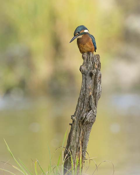 KINGFISHER AUGUST 2016