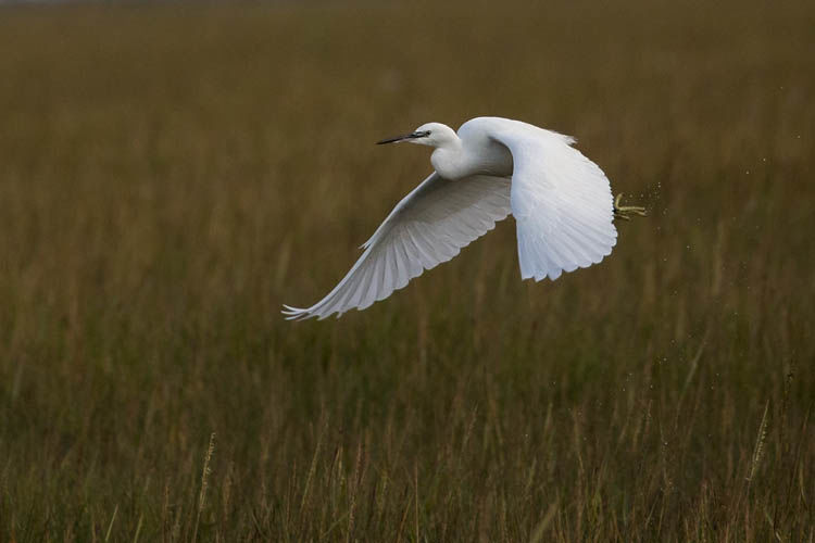 LITTLE EGRET NOVEMBER 2019