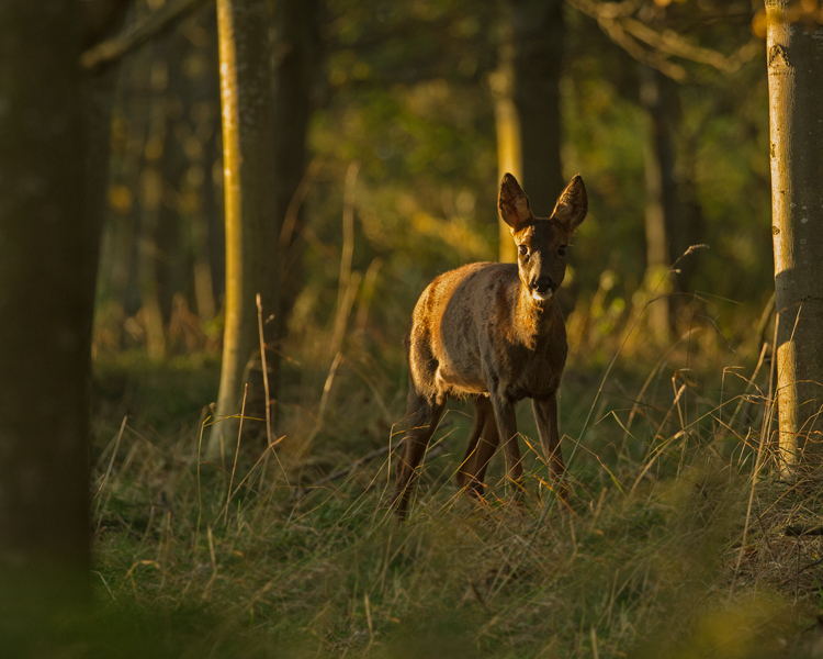 ROE DEER SEPTEMBER 2018