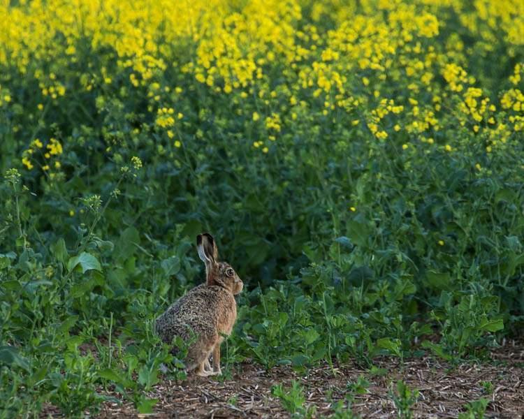BROWN HARE MAY 2018