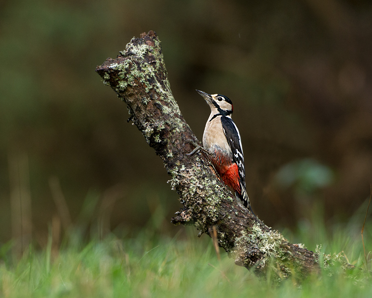 GREATER SPOTTED WOODPECKER OCTOBER 2018