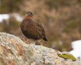 RED GROUSE FEBRUARY 2016