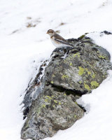 SNOW BUNTING FEBRUARY 2016
