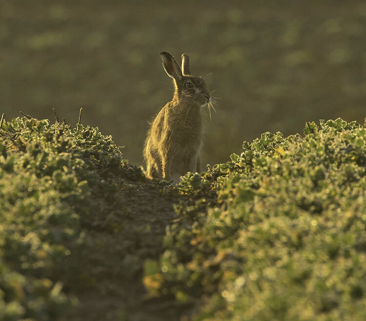 BROWN HARE FEBRUARY 2021