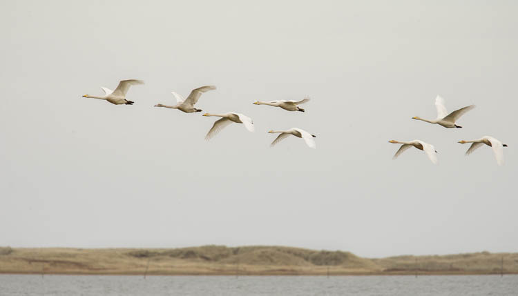 WHOOPER SWANS OCTOBER 2016