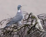 WOODPIGEON MARCH 2016