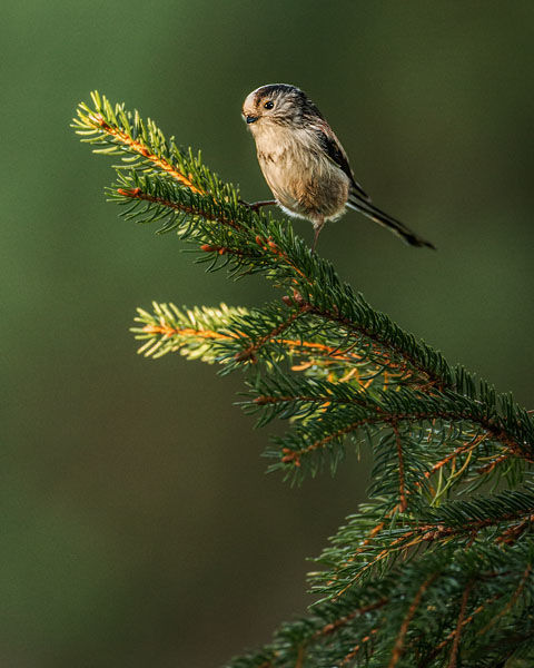 LONG TAILED TIT DECEMBER 2019