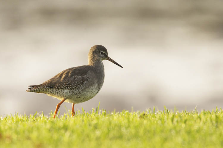 REDSHANK OCTOBER 2016