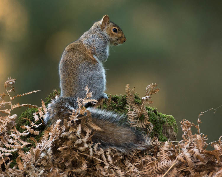 GREY SQUIRREL DECEMBER 2019