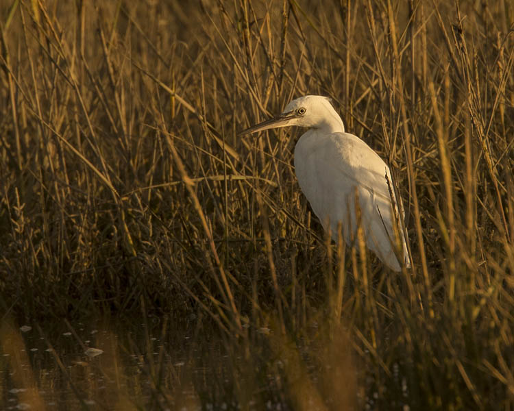 LITTLE EGRET OCTOBER 2016