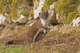 STOAT JULY 2018