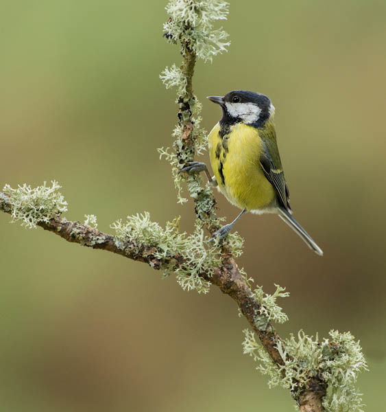 GREAT TIT JANUARY 2020