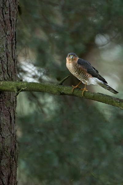 SPARROWHAWK JANUARY 2019
