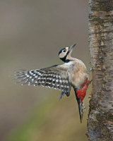 G.S. WOODPECKER LANDING ON BIRCH STUMP
