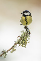 GREAT TIT JANUARY 2019